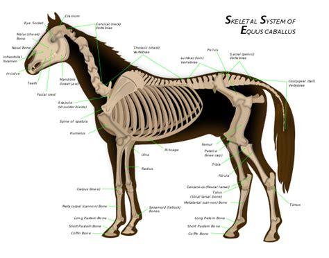 Filehorse Anatomy Svg Wikimedia Commons