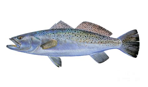 Speckled Trout Painting By Carey Chen