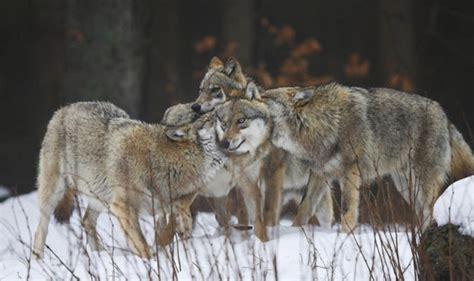 scottish highlands wolves   boost