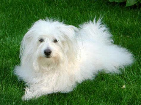 coton de tulear dog breed 187 information pictures more