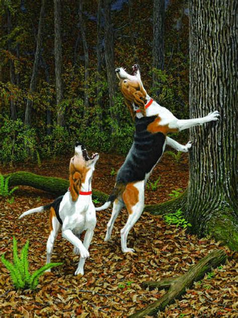 dogs treeing walker coonhound hunting coon hound dog breed puppies information tree breeds beagle fair county farm bear walkers everyone