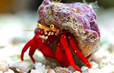 bernard l hermite aquarium bernard l hermite aquarium r 233 cifal le mer et tatouages