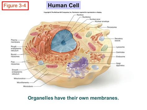 Chapter 3 Cell Structure And Function Chapter 3 Cell Structure And Function  Ppt Video Online