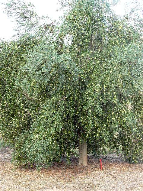 growing olives  southeast queensland fruit tree lane