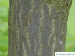 Roter Ahorn Baum : japanischer ahorn acer japonicum ~ Michelbontemps.com Haus und Dekorationen