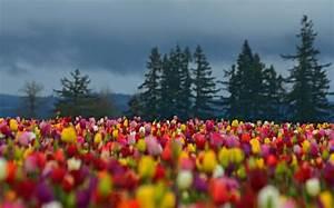Schwarze Tulpen Fotos die Natur von nah!