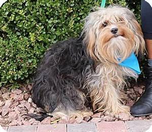 Las Vegas, NV - Yorkie, Yorkshire Terrier/Cavalier King ...