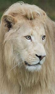 White Lion by Colin Langford | 500px | White lion, Pet ...