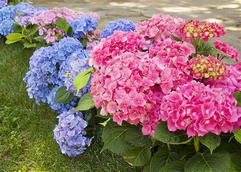 significato dei fiori ortensia ortensia significato simbologia e linguaggio dell ortensia