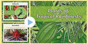 Plants Of The Rainforest Powerpoint  Teacher Made