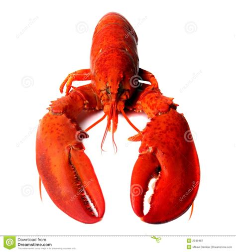 red lobster royalty  stock photography image
