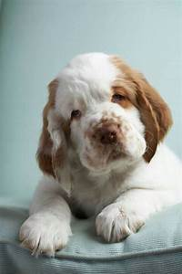 Spaniels, Puppys and What kind of on Pinterest