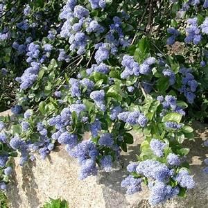 Plantes Et Jardin : c anothe rampant plantes et jardins ~ Melissatoandfro.com Idées de Décoration