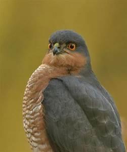 The 25  Best British Birds Of Prey Ideas On Pinterest