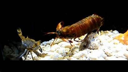 Gifs Shrimp Mantis Punch Strongest Animal Mostram