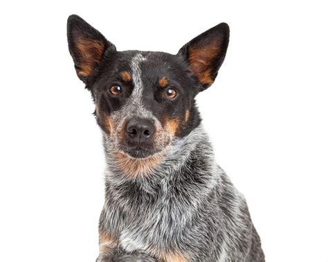 australische veedrijvershond honden rasinformatie omlet