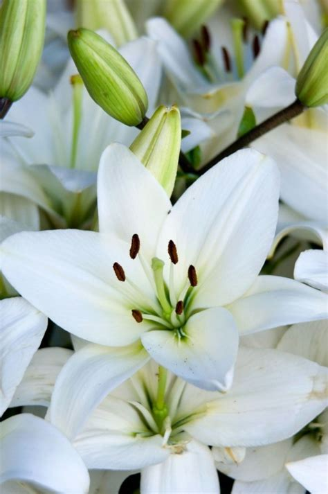 caring for potted lilies caring for potted easter lilies thriftyfun