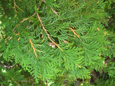 thuja occidentalis smaragd emerald green arbres