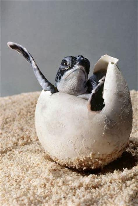 turtle hatchling luvbat