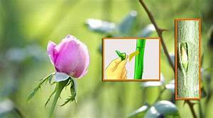 How to do Budding in Rose Plants?   Propagating Roses