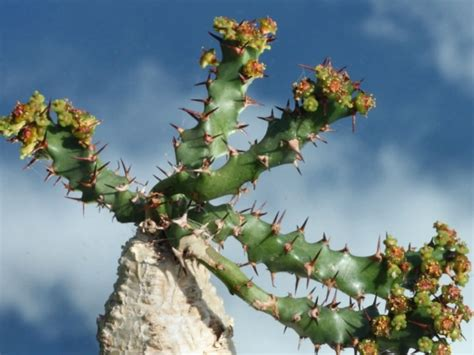euphorbia squarrosa world  succulents