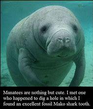 Funny Manatee