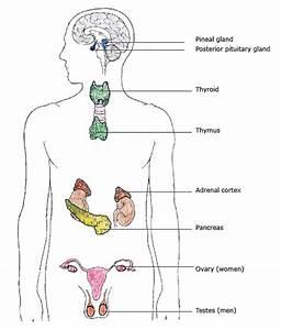 Endocrine System Organs, Glands | Hormones and Metabolism