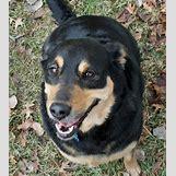 German Shepherd Face Profile | 450 x 506 jpeg 52kB