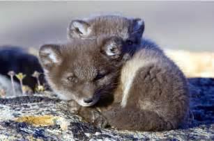 Cute Baby Arctic Fox