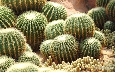 types of cacti echinocactus grusonii golden barrel cactus golden ball