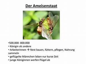 Ameisen Mit Flügel : ppt ameisen powerpoint presentation id 6373318 ~ Buech-reservation.com Haus und Dekorationen