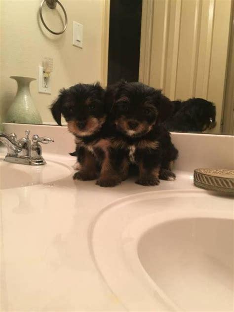 yorkie poos  sale  delaware city delaware puppies