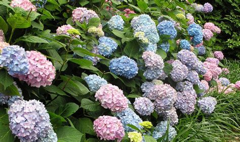 alan titchmarshs tips  growing hydrangeas