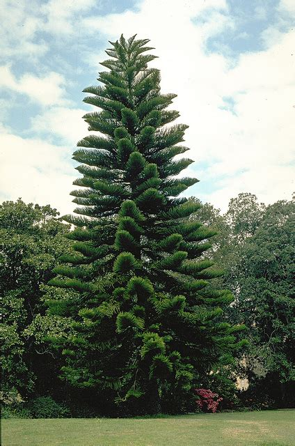 norfolk island pine norfolk island pine flickr photo sharing