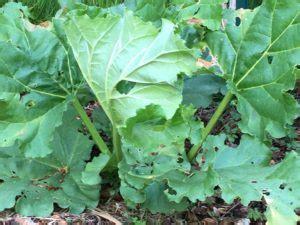cuisiner de la rhubarbe cuisiner de saison avec la rhubarbe une autre diététique