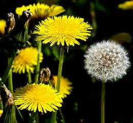 ti plant dandelion greens the survival food