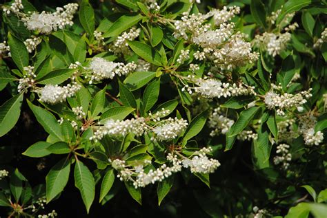 white flowering shrubs mark weathington jc raulston arboretum page 3