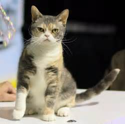 cat breed selector american wirehair cat info history personality kittens