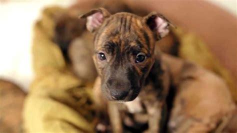 sweetest pitbull  boxer puppies youtube
