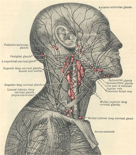 Head and Neck Lymph Nodes of Face