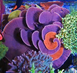 Idaho Grape Montipora Coral