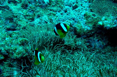 adam jadhav north indian anemonefish