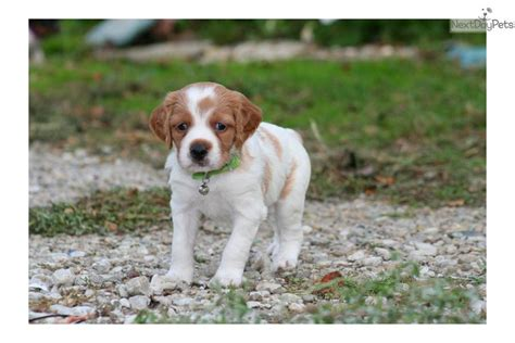 french brittany spaniel puppies for sale breeders 2016