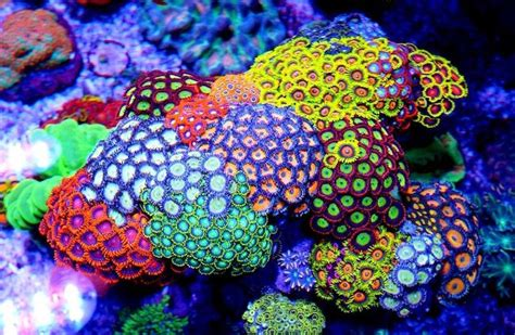 zoanthids   people call  carpet coral