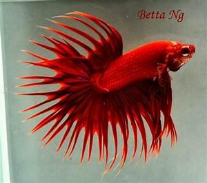 Betta Splendens: Les plus belles photos de Bettas ...