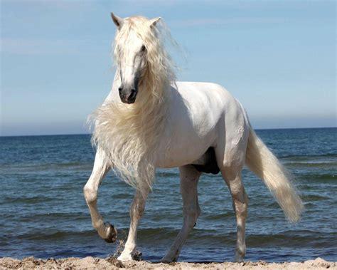 white horse  beautiful mane wallpaper widescreen hd