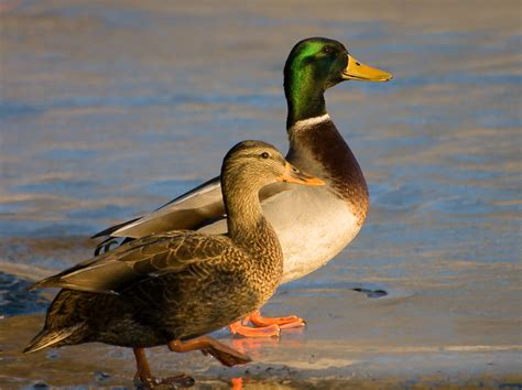 mallard duck file male and female mallard ducks jpg wikipedia