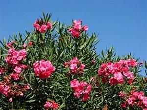 Oleander Alte Blüten Abschneiden : oleander alte bl tenst nde abschneiden ~ Yasmunasinghe.com Haus und Dekorationen