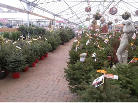 real potted christmas trees for sale asda real trees find your fir at perrywood perrywood