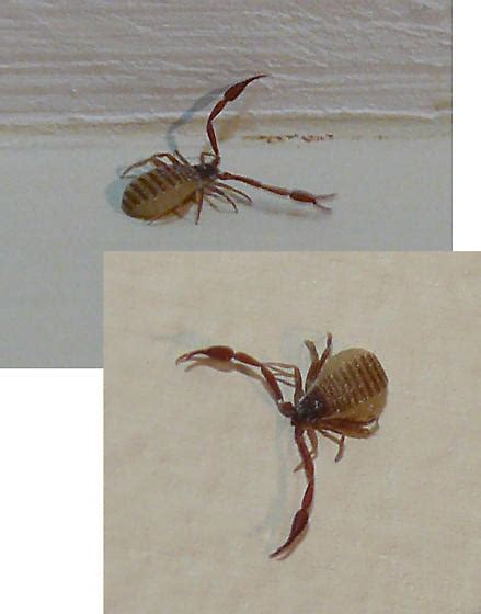 Small Tick Like Bug with Pinchers